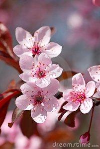 pink-cherry-blossom-19149714