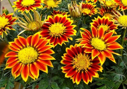 gazanias_flowers_garden_plant_220754