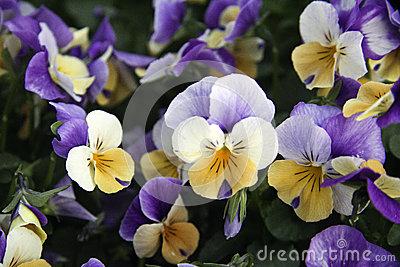pansies-flowering-purple-garden-31091882