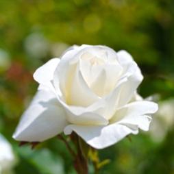 rose_white_arrow_516794