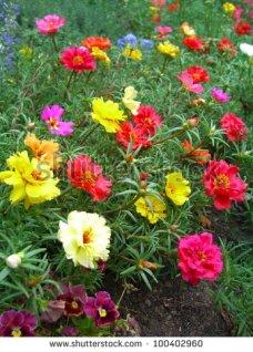 stock-photo-colorful-portulaca-100402960